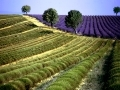FIELDS OF LAVANDER